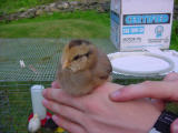 chicksonhands 2 -061401.JPG