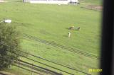 Cow without zoom&binoculars.JPG
