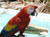 Macaw haw-haw