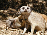 Meerkat sneer