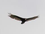 Turkey vulture spots lunch.