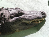 Alligator smile