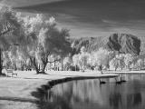 Black swans (infrared)