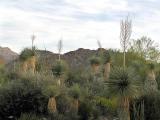 Yuccas