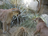 Wildlife in the Living Desert Zoo and Gardens near Palm Springs California