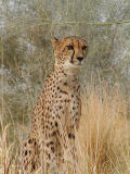 Cheetah that went to modeling school