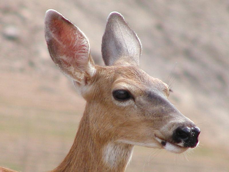 Deer at Lake Shasta