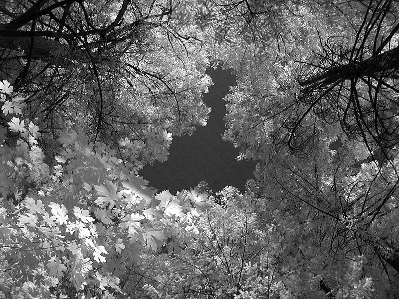 Leaves (infrared)