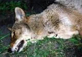 Closeup of Mrs. Coyote:  March, 2001