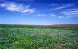Spring bluebonnets in the back coastal pasture:  March, 2001