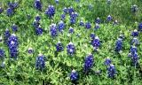 The Teaxs state flower:  March, 2001