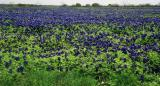 Spring bluebonnets:  March, 2001
