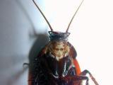 Roach Head & Upper Torso