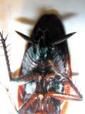 Roach Lower Torso