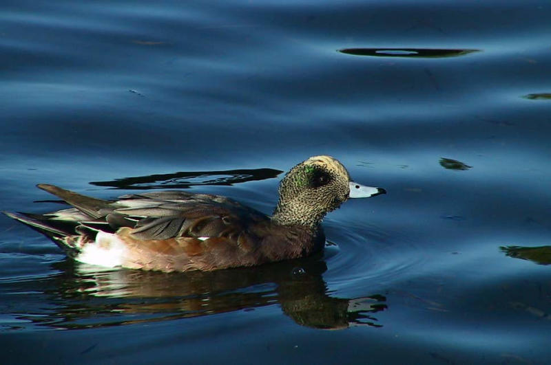 American Widgeon.jpg