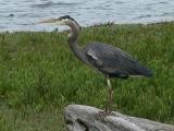 Heron Thinking.jpg