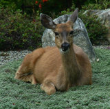 Friendly deer next door.jpg
