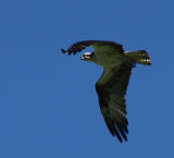 Osprey graceful in flight.jpg