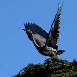 Graceful heron.jpg