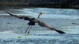 Heron in flight.jpg