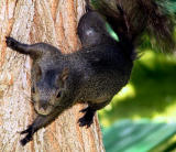 black squirrel 2.jpg