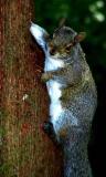 Watchful squirrel.jpg