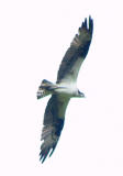 Osprey in flight  3.jpg