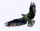 Osprey in flight 4.jpg
