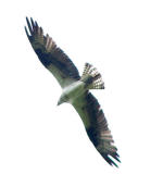 Osprey in flight.jpg