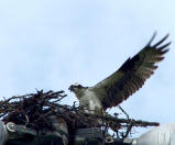 Osprey in nest.jpg
