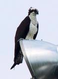 Resting osprey.jpg