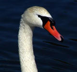 Swan Head.jpg