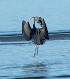 Heron tip-toe landing.jpg