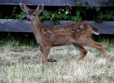 Young fawn.jpg