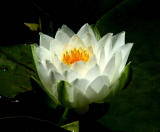 Water lily 5.jpg