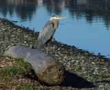 Heron at rest.jpg
