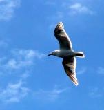 Seagull soaring in the sky.jpg
