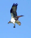 Osprey in flight 6.jpg