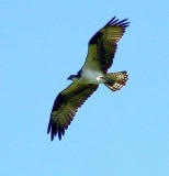 Osprey in flight 7.jpg
