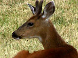 Young buck 2.jpg