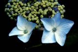 Hydrangea..Lace Cap.jpg