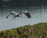 Heron searching for food.jpg