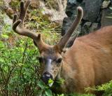 Buck deformed horn 2.jpg