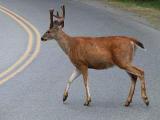 Buck on the highway.jpg