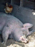 Contented pig and hen.jpg