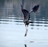 long legs.Heron.jpg