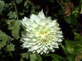 White Dalia.jpg