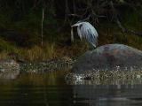 Very wet Heron.jpg