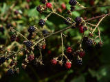 Wild blackberries.jpg