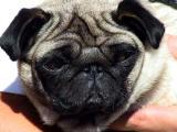 Purdy.the pug.jpg